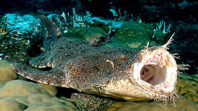 Фото: Челюсти ковровой акулы