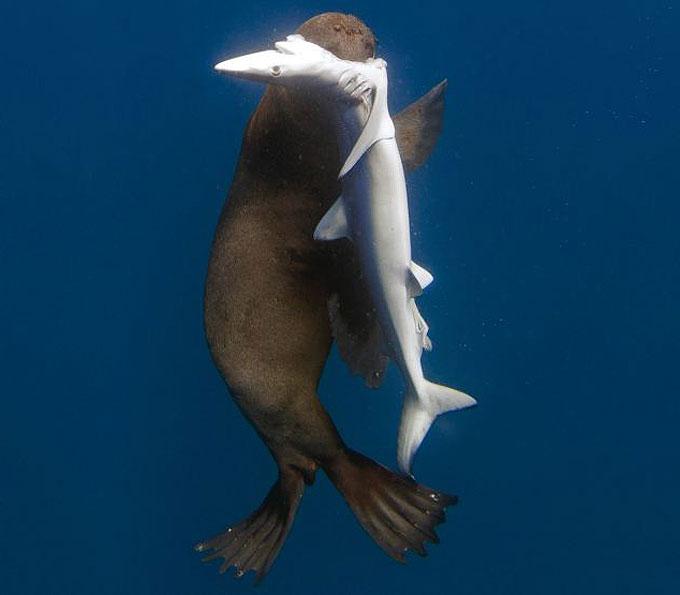 Фото: Морской котик напал на акулу