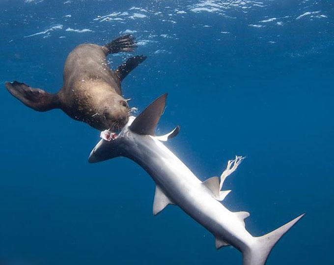 Фото: Морской котик съел голубую акулу