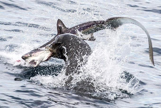 Фото: Морской котик атакует лисью акулу