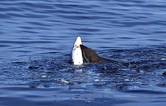 Фото: Морской котик кусает акулу