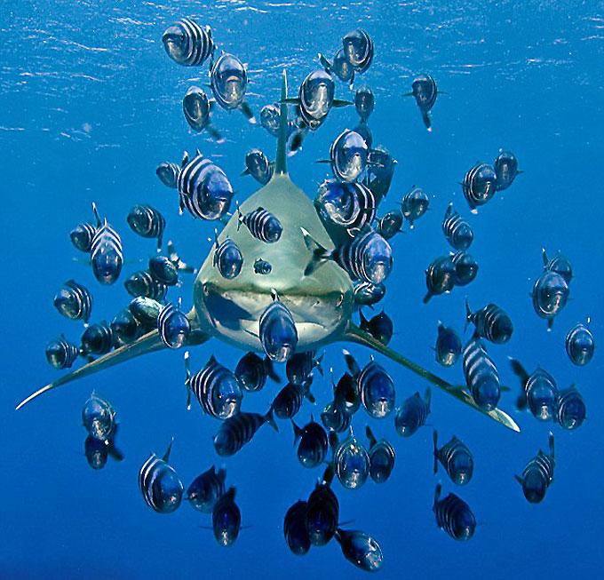 Симбиоз: полосатые рыбы-лоцманы и акула